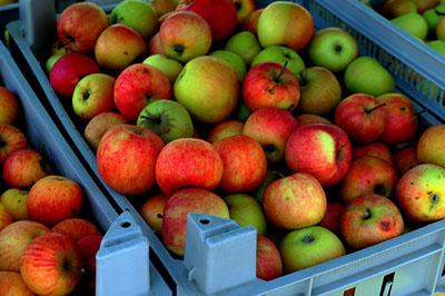 zdjęcie jabłek